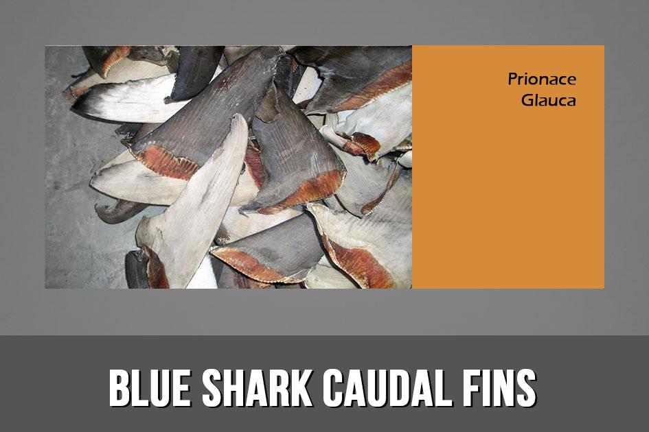 BLUE SHARK CAUDAL FINS