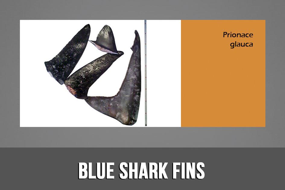 BLUE SHARK FINS